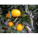 Taronja taula 10 Kg ecològica
