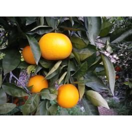 Naranja mesa 10 Kg ecológica