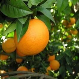 Naranja mesa 15 Kg ecológica
