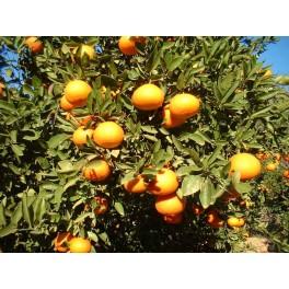 Mandarina Ortanique mesa 10 Kg ecológica