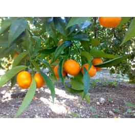 Mandarina Clemenvilla taula 10 Kg